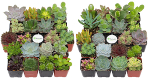 20 Unique Succulents $27.99